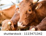 Cow And Brown Cattle Herd In...