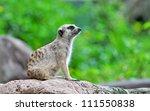 portrait of a meerkat standing... | Shutterstock . vector #111550838
