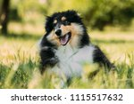 tricolor rough collie puppy ... | Shutterstock . vector #1115517632