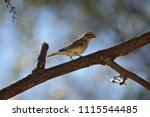 non breeding male pin tailed... | Shutterstock . vector #1115544485