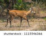 marsh deer  blastocerus...   Shutterstock . vector #1115546366