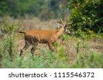 marsh deer blastocerus...   Shutterstock . vector #1115546372