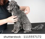 grooming a little poodle in a... | Shutterstock . vector #1115557172