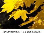 golden maple leaves exhibiting... | Shutterstock . vector #1115568536
