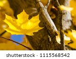 golden maple leaves exhibiting... | Shutterstock . vector #1115568542