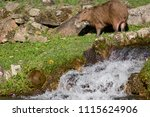 capybara  biggest rodent in the ... | Shutterstock . vector #1115624906
