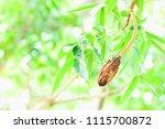 the mahogany's balls are left...   Shutterstock . vector #1115700872