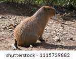 the capybara is the largest... | Shutterstock . vector #1115729882