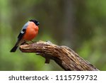 the bullfinch  common bullfinch ... | Shutterstock . vector #1115759732