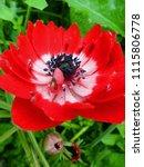 anemone coronaria red double... | Shutterstock . vector #1115806778