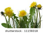 yellow dandelions in grass... | Shutterstock . vector #11158318