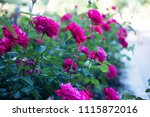 bushes of beautiful pink roses. ... | Shutterstock . vector #1115872016