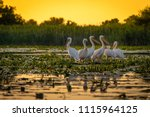 Pelicans at sunset in Danube Delta, Romania
