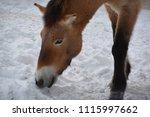 przewalski's horse or...   Shutterstock . vector #1115997662