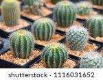 small cactus in mini pot in the ... | Shutterstock . vector #1116031652