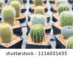 small cactus in mini pot in the ... | Shutterstock . vector #1116031655
