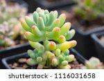small cactus in mini pot in the ... | Shutterstock . vector #1116031658