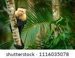 white headed capuchin  black... | Shutterstock . vector #1116035078