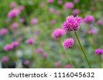 pink grass flowers in field | Shutterstock . vector #1116045632