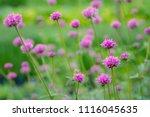 pink grass flowers in field | Shutterstock . vector #1116045635