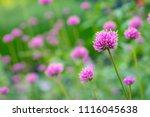 pink grass flowers in field | Shutterstock . vector #1116045638