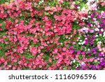 Multi Colored Petunias  Petuni...
