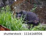 formosan black bear  ursus...   Shutterstock . vector #1116168506
