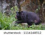 formosan black bear  ursus...   Shutterstock . vector #1116168512