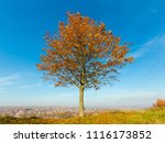 lonely autumn maple tree on... | Shutterstock . vector #1116173852