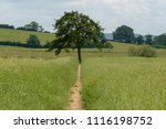 isolated single tree in middle... | Shutterstock . vector #1116198752