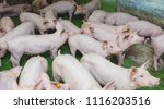 pink pigs on the farm  dirty... | Shutterstock . vector #1116203516