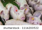 pink pigs on the farm  dirty... | Shutterstock . vector #1116203522