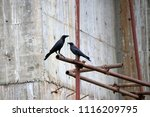 black crow perch on the... | Shutterstock . vector #1116209795