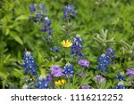 A Mixture Of Texas Bluebonnets...
