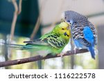 Blue And Green Lovebird Parrot...