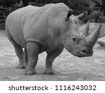 white rhinoceros or square...   Shutterstock . vector #1116243032