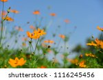colorful cosmos flowers with...   Shutterstock . vector #1116245456