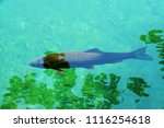 trout at plitvice in croatia    ... | Shutterstock . vector #1116254618
