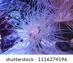a single coral polyp from a... | Shutterstock . vector #1116274196