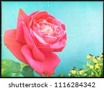 red rose against blue... | Shutterstock . vector #1116284342