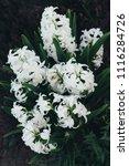 bright white flower hyacinth in ... | Shutterstock . vector #1116284726