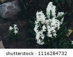bright white flower hyacinth in ... | Shutterstock . vector #1116284732