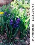 bright white flower hyacinth in ... | Shutterstock . vector #1116284756