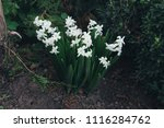 bright white flower hyacinth in ... | Shutterstock . vector #1116284762