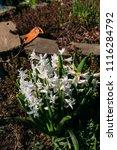 bright white flower hyacinth in ... | Shutterstock . vector #1116284792