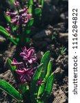 bright purple flower hyacinth... | Shutterstock . vector #1116284822