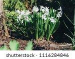 bright white flower hyacinth in ... | Shutterstock . vector #1116284846