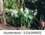 bright white flower hyacinth in ... | Shutterstock . vector #1116284852