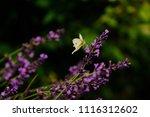 a white butterfly is landing on ...   Shutterstock . vector #1116312602