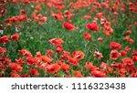view of meadow of poppies field. | Shutterstock . vector #1116323438